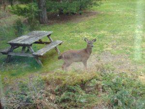 Deer looking at me